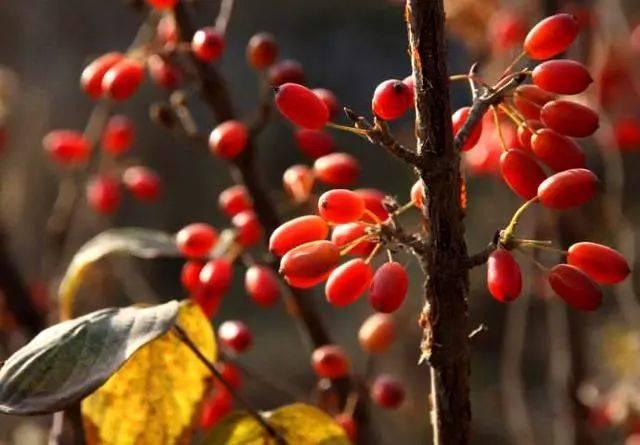 蚂蚁庄园10月14日:九月九日忆山东兄弟中遍插茱萸少一人的人指的是?